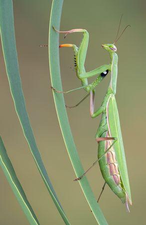 A praying mantis is climbing some reeds.