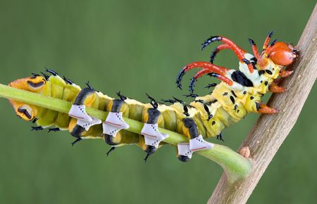 A hickory horned-devil caterpillar is crawling on a branch wearing sneakers. Stock Photo - 3493442