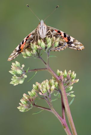 A painted lady butterfly is perched on a budding plant. Stock Photo - 3493446
