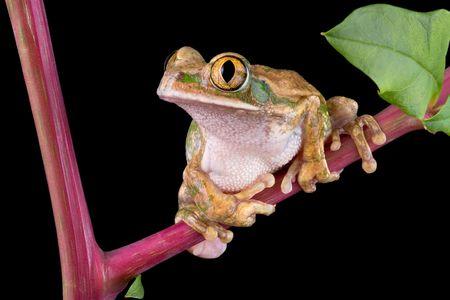 A big-eyed tree frog is sitting on pokeweed.