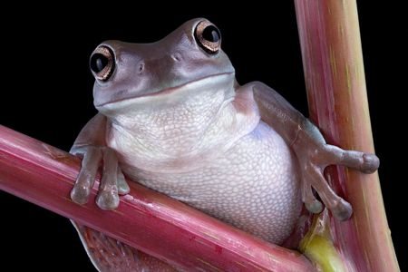 A white's tree frog is posing on pokeweed. Stock Photo - 3616417