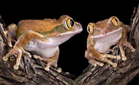 Two big-eyed tree frogs are on a branch. One is looking longingly at the other.