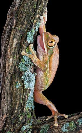 Un gran árbol de ojos rana tiene su boca abierta mientras la escalada en una antigua sucursal. Foto de archivo - 3666324