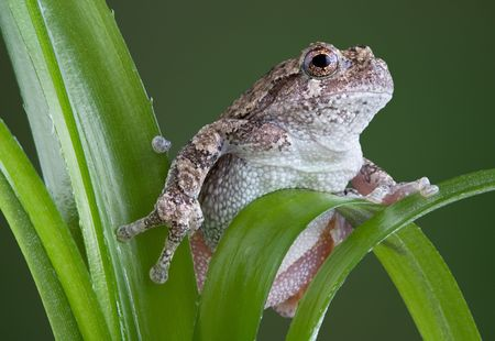 A  gray tree frog is climbing on a green plant. Stock Photo - 3666323
