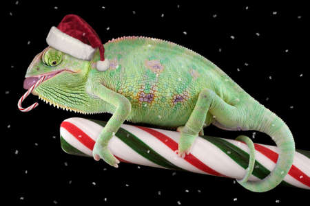 A veiled chameleon is eating a candycane while sitting on a large stick of candy. Stock Photo