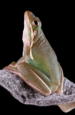 A baby green tree frog is sitting on a milkweed pod.