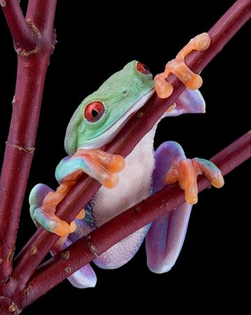A red-eyed tree frog is falling asleep while holding on to a branch. Stock Photo - 4094727