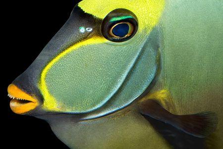 naso: A naso tang fish isolated on black. Stock Photo