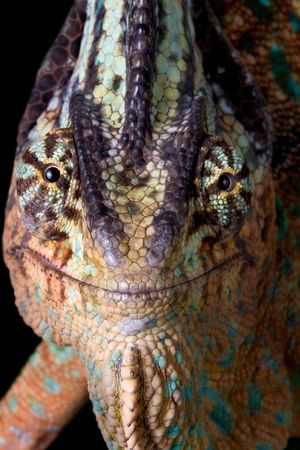 A veiled chameleon is smiling for the camera. Stock Photo - 4178830