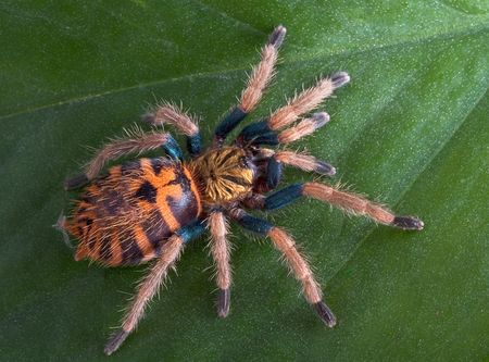 A baby green-bottle blue tarantula is climbing on a leaf. Stock Photo - 4515867