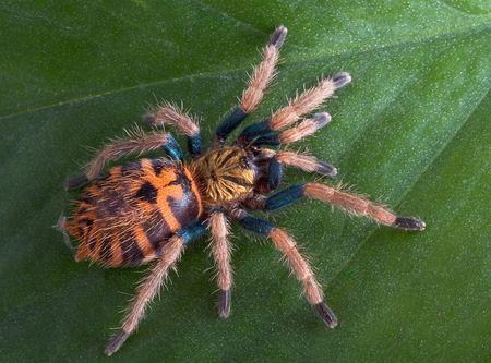A baby green-bottle blue tarantula is climbing on a leaf. Stock Photo - 4515867