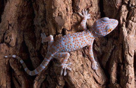 tokay gecko: A baby tokay gecko is walking across a tree trunk. Stock Photo