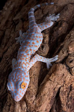A baby tokay gecko is climbing down a tree. Stock Photo