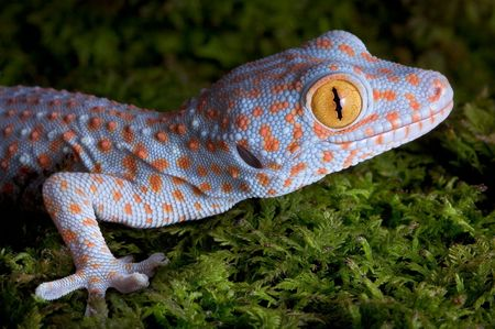 A baby tokay gecko is sitting on moss.