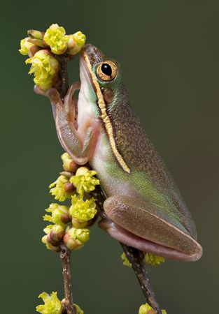 A green tree frog appears to be sniffing the budding flowers while sitting on a branch. Stock Photo - 4713343