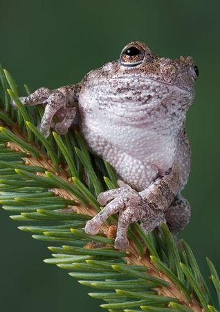 branche pin: Un gris rainette est assis sur une branche de pin.