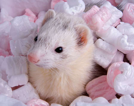 A ferret is peeking out of a box. Stock Photo
