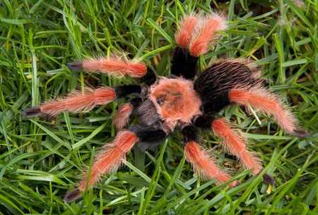 A mexican fire leg tarantula is crawling through grass.