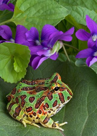 A baby ornate horned frog is sitting on a leaf near some spring wildflowers.