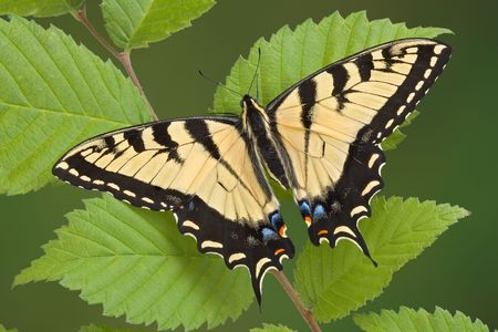 A tiger swallowtail butterfly has landed on some leaves. Stock Photo