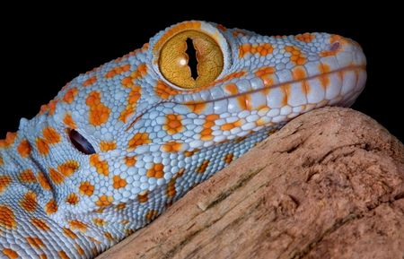 tokay gecko: A young tokay gecko is resting on driftwood.