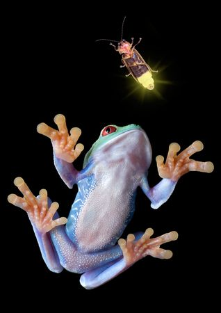 A red-eyed tree frog is stalking a firefly.