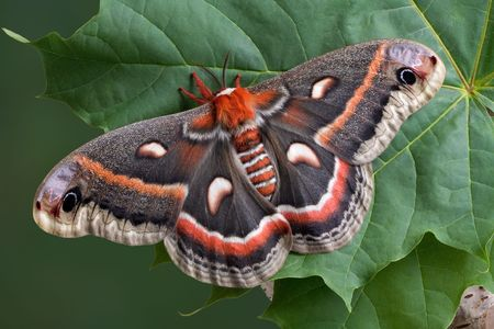 A cecropia moth has landed on a big leaf. Stock Photo - 5037791