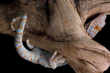 tokay gecko: A tokay gecko is climbing on driftwood. Stock Photo