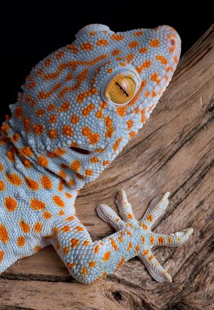 A tokay gecko is shown on driftwood.