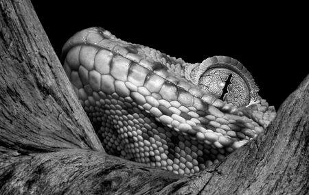 A tokay gecko is peeking over a branch. Stock Photo