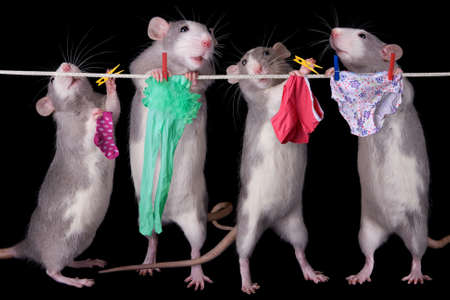 A group of rats are hanging their laundry. Stock Photo