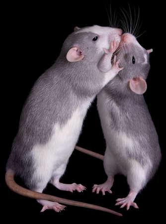 mice: Dos ratas son besos entre s�.