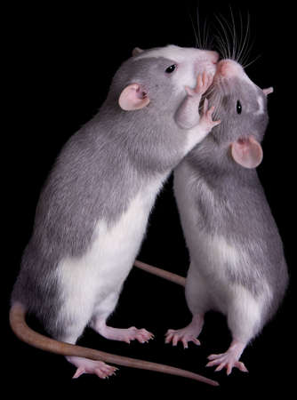 Two rats are kissing each other.