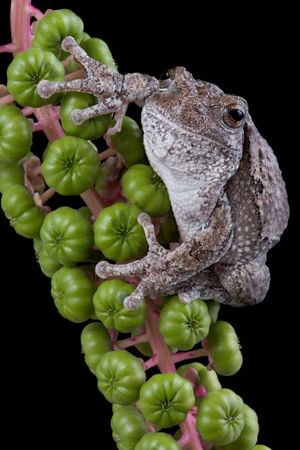 A gray tree frog is perched on a branch of poke weed.