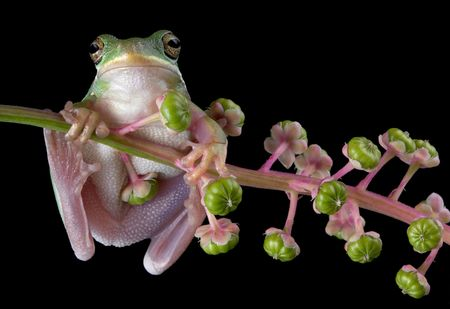 A green tree frog is hanging on to a branch of poke weed.