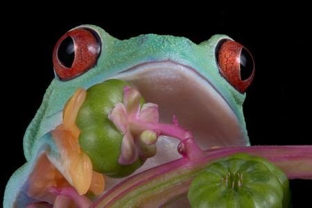 A red-eyed tree frog is shown close up. Stock Photo
