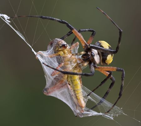 A female argiope spider is wrapping up a grasshopper caught in her web. Stock Photo