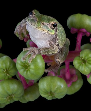 baby gray tree frog is holding on to some pokeweed berries. Stock Photo