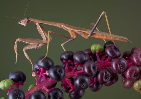 A male mantis is walking on a branch of pokeweed. Stock Photo - 5465418