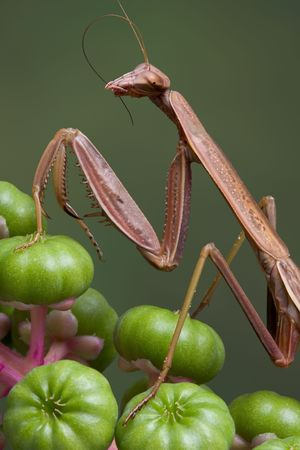 feeler: A male mantis is preening its feeler while sitting on pokeweed.