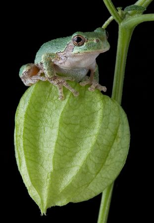A baby gray tree frog is sitting on a chinese lantern plant.