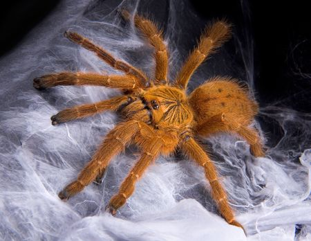 An OBT tarantula is sitting on top of its web.