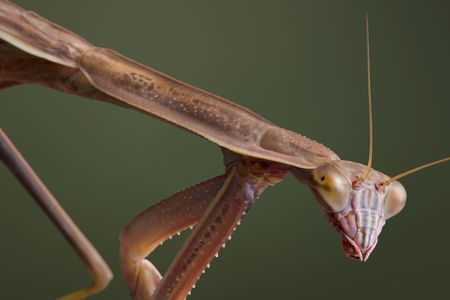A male mantis is walking at a downward angle. Stock Photo - 5465403
