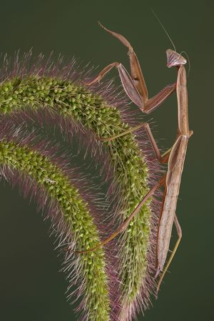 A mantis is sitting on a piece of foxtail grass. Stock Photo - 5519397