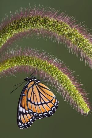 A viceroy butterfly  is hanging underneath some foxtail grass.