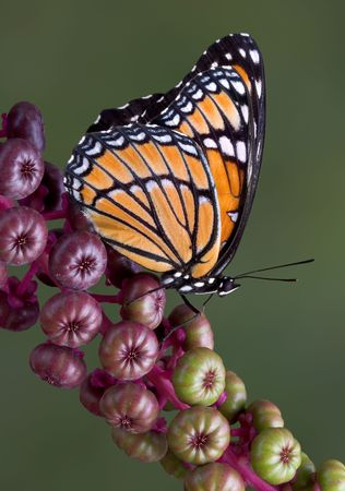 viceroy: A viceroy butterfly is sitting on a branch of pokeweed.