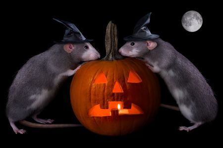 Two rat witches are conjuring up a spell on Halloween night. photo
