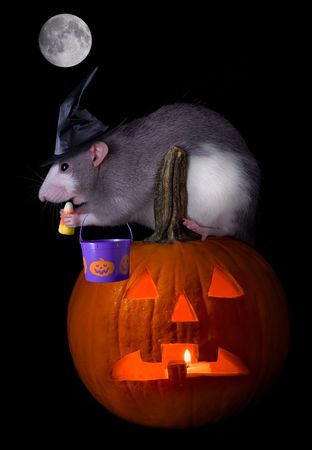 A rat witch is munching on her candy corn after going trick or treating on halloween night. photo