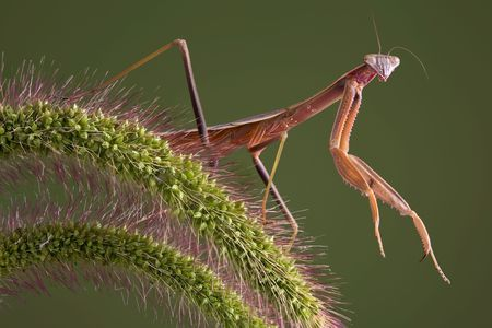 A praying mantis is perched on a branch of foxtail grass. Stock Photo - 5630708
