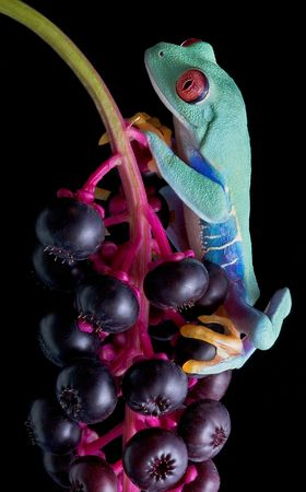 A red-eyed tree frog is holding on to a branch full of berries. Stock Photo - 5630706